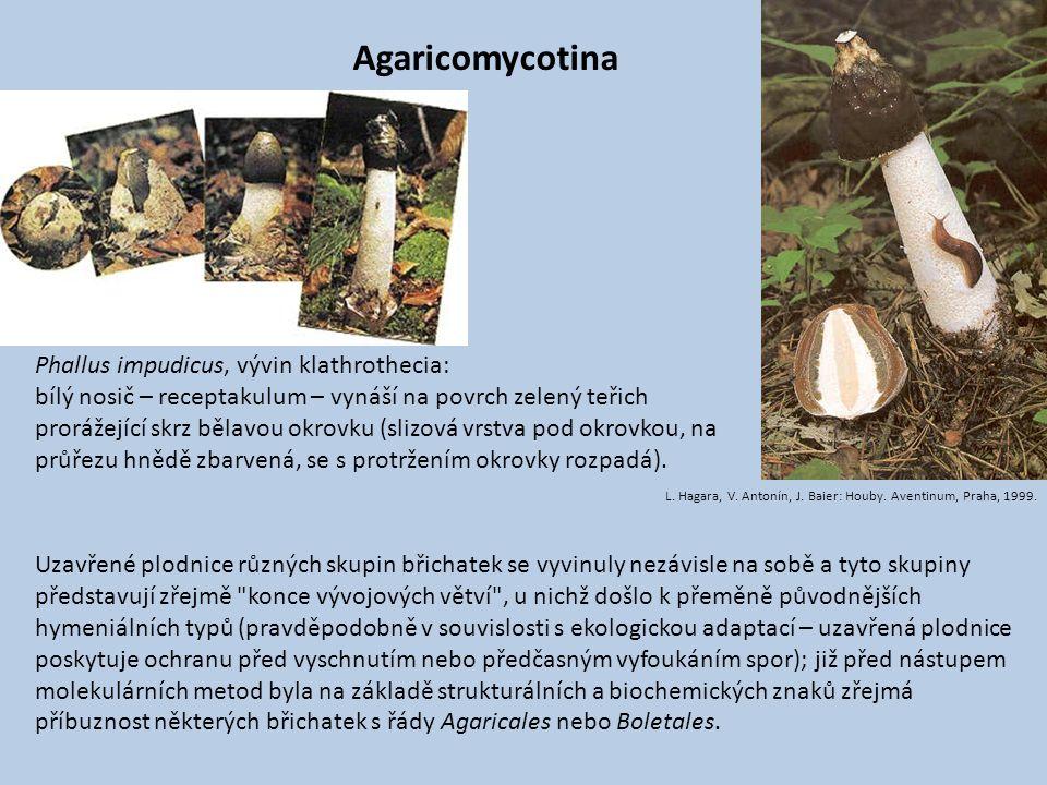 Agaricomycotina Phallus impudicus, vývin klathrothecia: