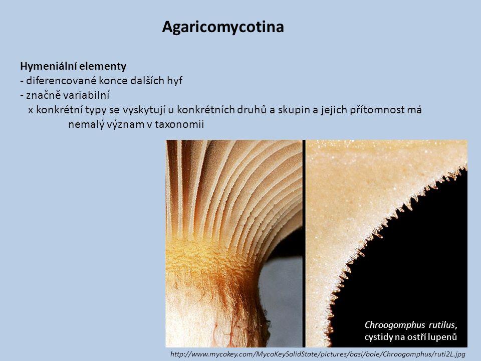 Agaricomycotina Hymeniální elementy diferencované konce dalších hyf
