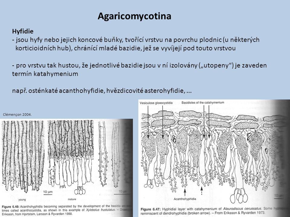 Agaricomycotina Hyfidie