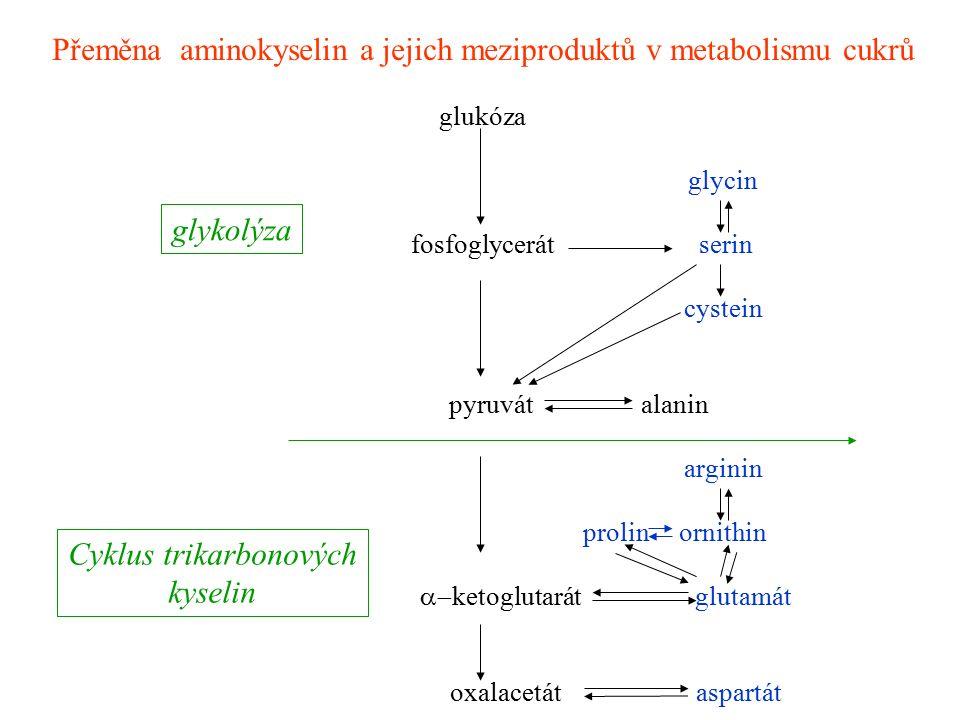 Přeměna aminokyselin a jejich meziproduktů v metabolismu cukrů