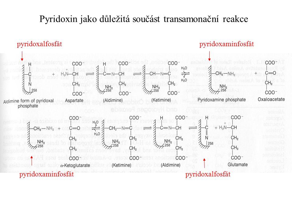 Pyridoxin jako důležitá součást transamonační reakce