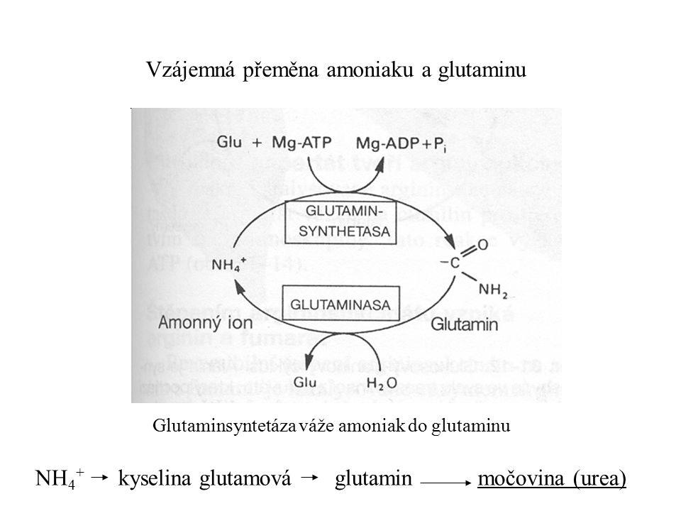Vzájemná přeměna amoniaku a glutaminu
