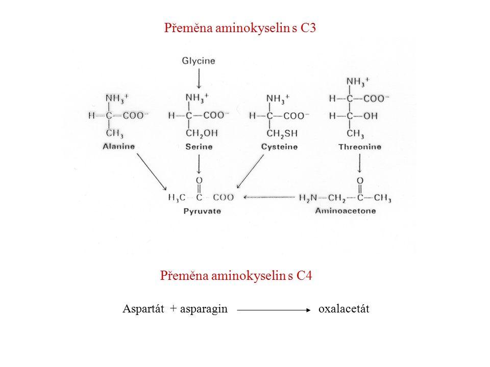 Přeměna aminokyselin s C3