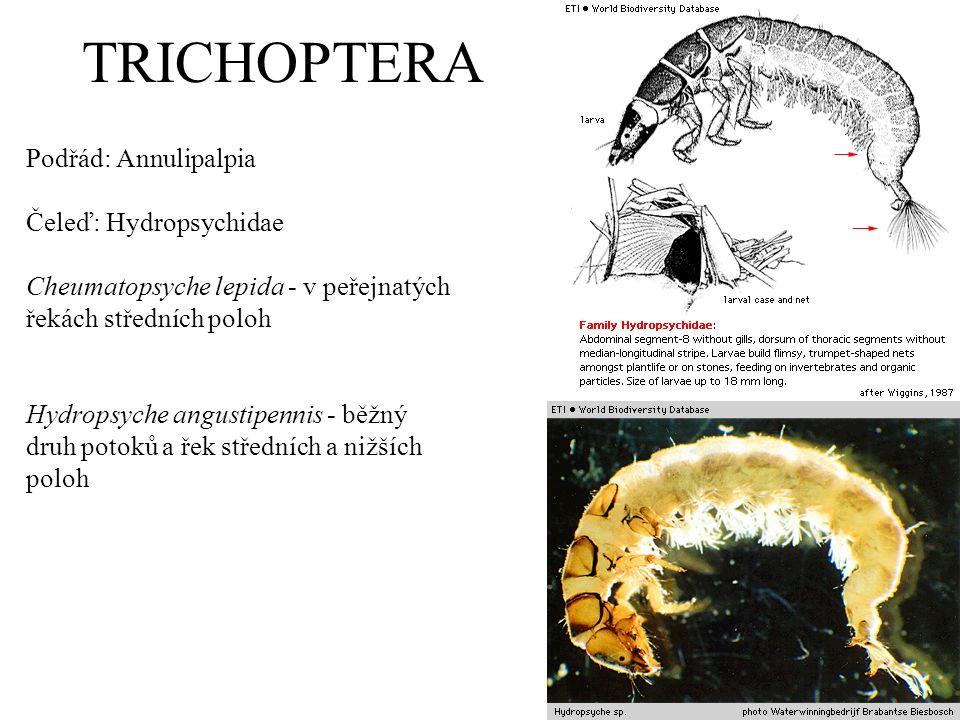 TRICHOPTERA Podřád: Annulipalpia Čeleď: Hydropsychidae