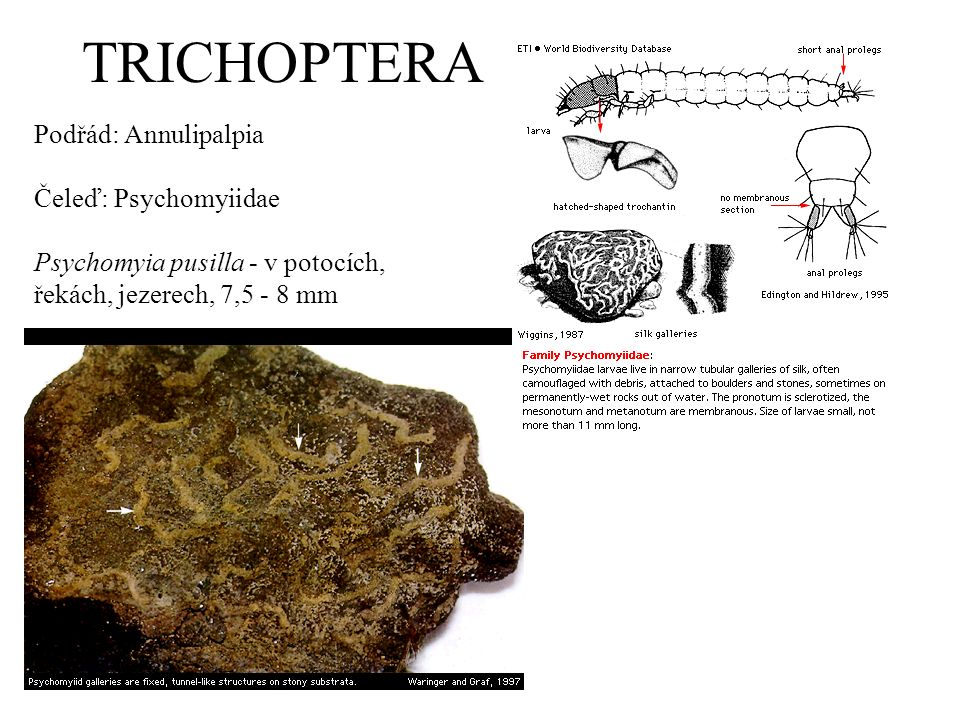 TRICHOPTERA Podřád: Annulipalpia Čeleď: Psychomyiidae