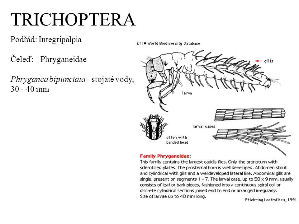TRICHOPTERA Podřád: Integripalpia Čeleď: Phryganeidae