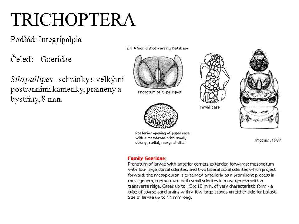 TRICHOPTERA Podřád: Integripalpia Čeleď: Goeridae