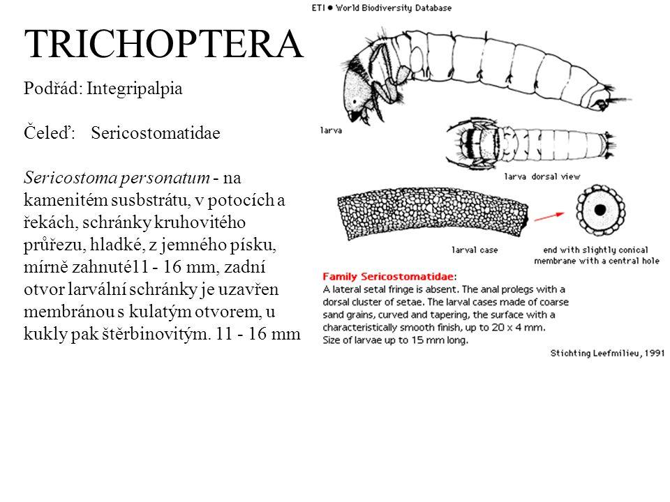 TRICHOPTERA Podřád: Integripalpia Čeleď: Sericostomatidae