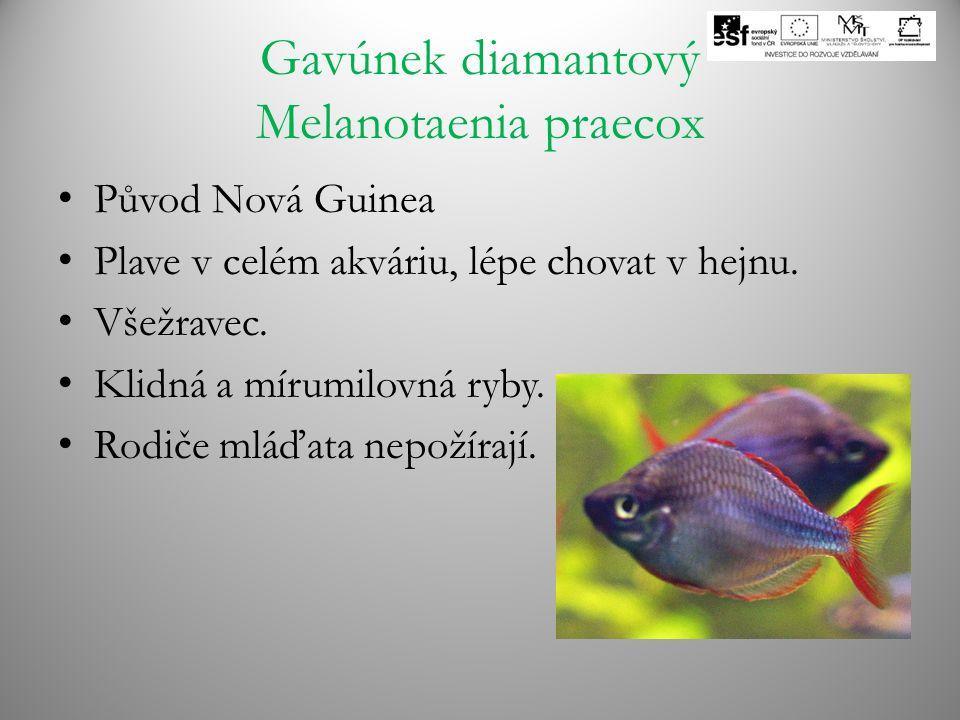 Gavúnek diamantový Melanotaenia praecox