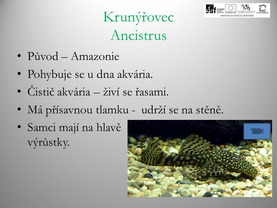 Krunýřovec Ancistrus Původ – Amazonie Pohybuje se u dna akvária.
