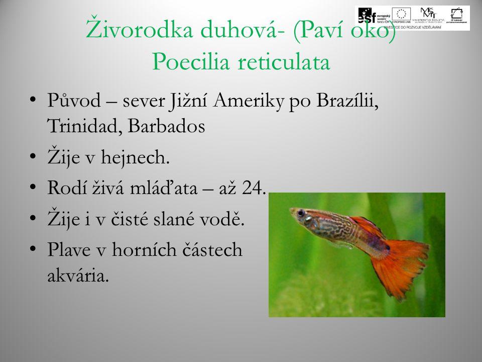 Živorodka duhová- (Paví oko) Poecilia reticulata