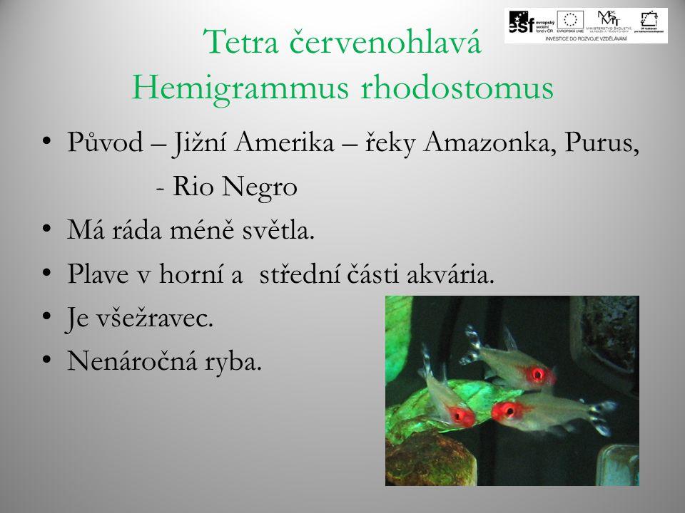 Tetra červenohlavá Hemigrammus rhodostomus