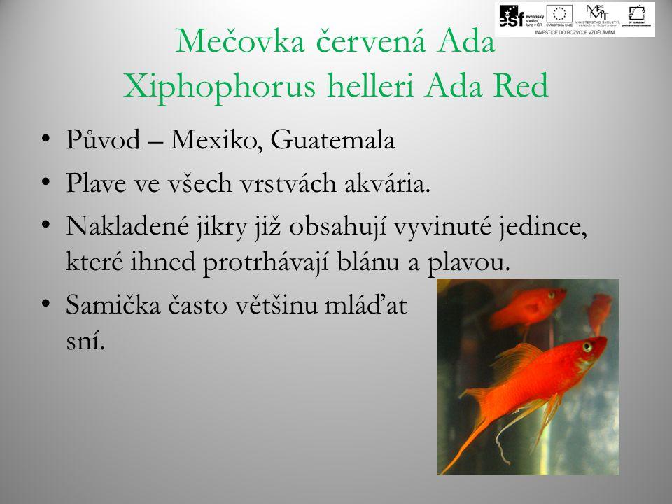 Mečovka červená Ada Xiphophorus helleri Ada Red