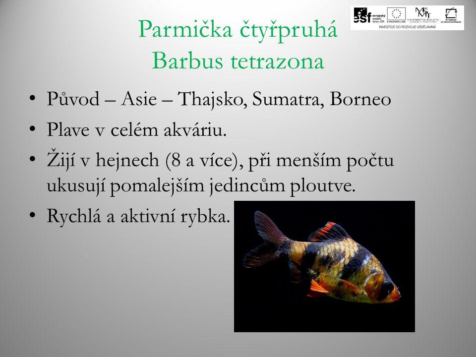 Parmička čtyřpruhá Barbus tetrazona