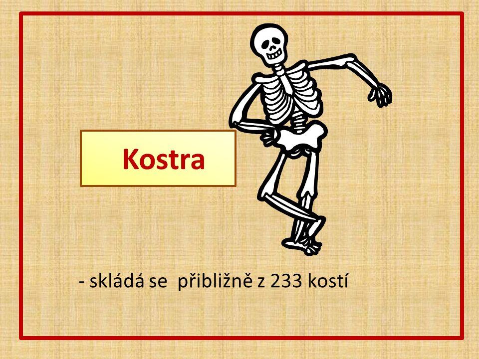 Kostra - skládá se přibližně z 233 kostí