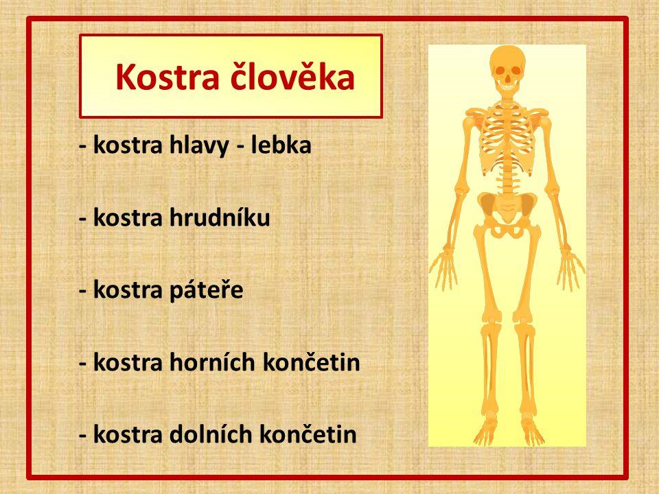 - kostra hlavy - lebka - kostra hrudníku - kostra páteře - kostra horních končetin - kostra dolních končetin
