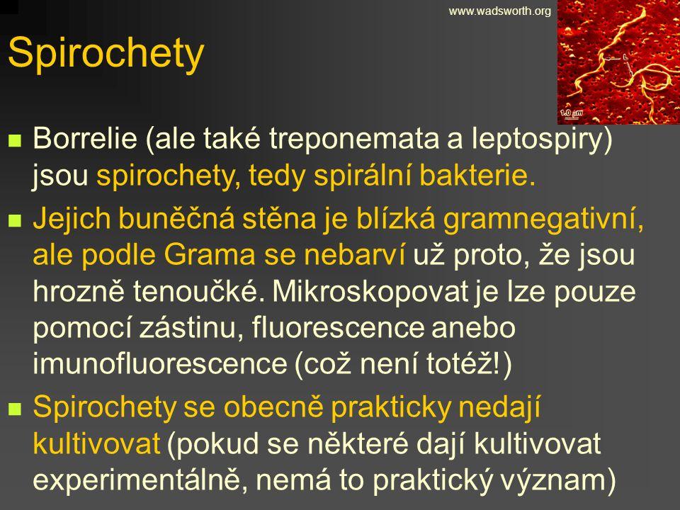 www.wadsworth.org Spirochety. Borrelie (ale také treponemata a leptospiry) jsou spirochety, tedy spirální bakterie.
