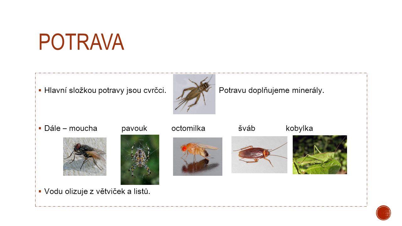 potrava Hlavní složkou potravy jsou cvrčci. Potravu doplňujeme minerály.