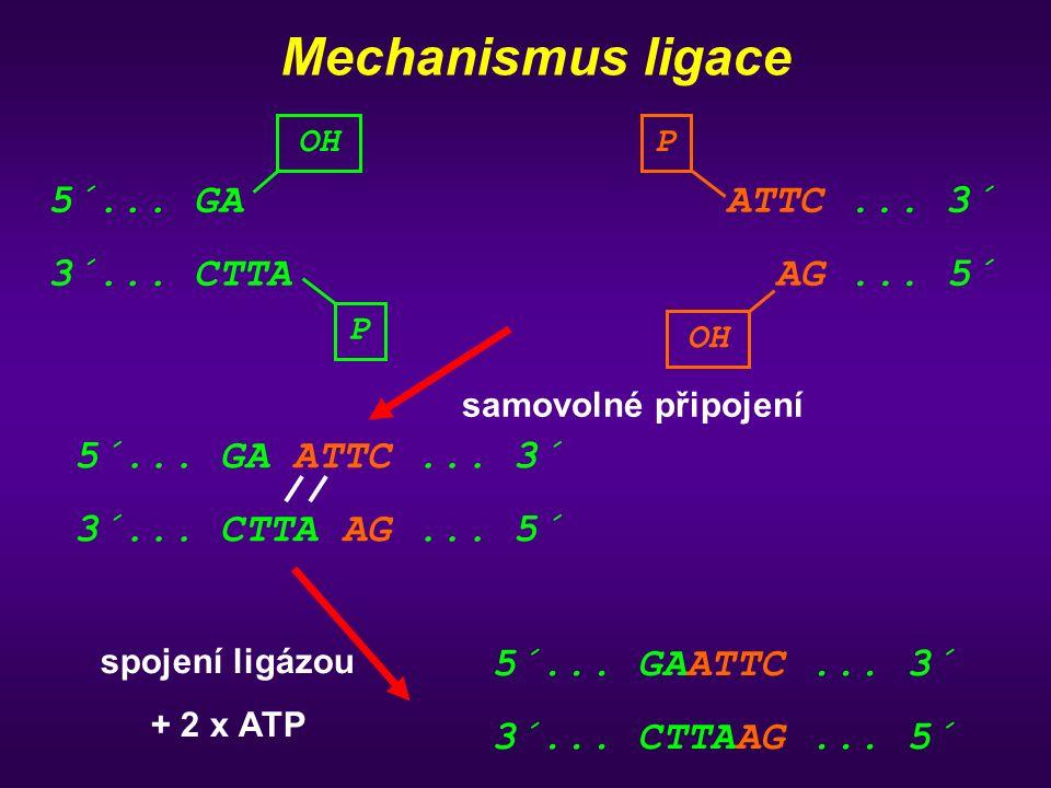 Mechanismus ligace 5´... GA 3´... CTTA ATTC ... 3´ AG ... 5´