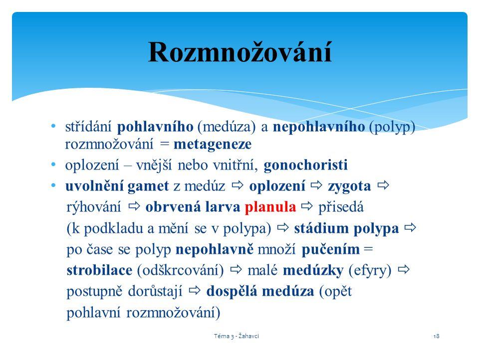 Rozmnožování střídání pohlavního (medúza) a nepohlavního (polyp) rozmnožování = metageneze. oplození – vnější nebo vnitřní, gonochoristi.