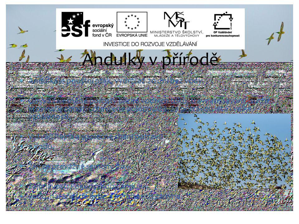 Andulky v přírodě Andulka je pouštní pták, vydrží až 20 dní bez vody.
