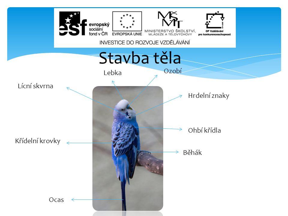 Stavba těla Ozobí Lebka Lícní skvrna Hrdelní znaky Ohbí křídla