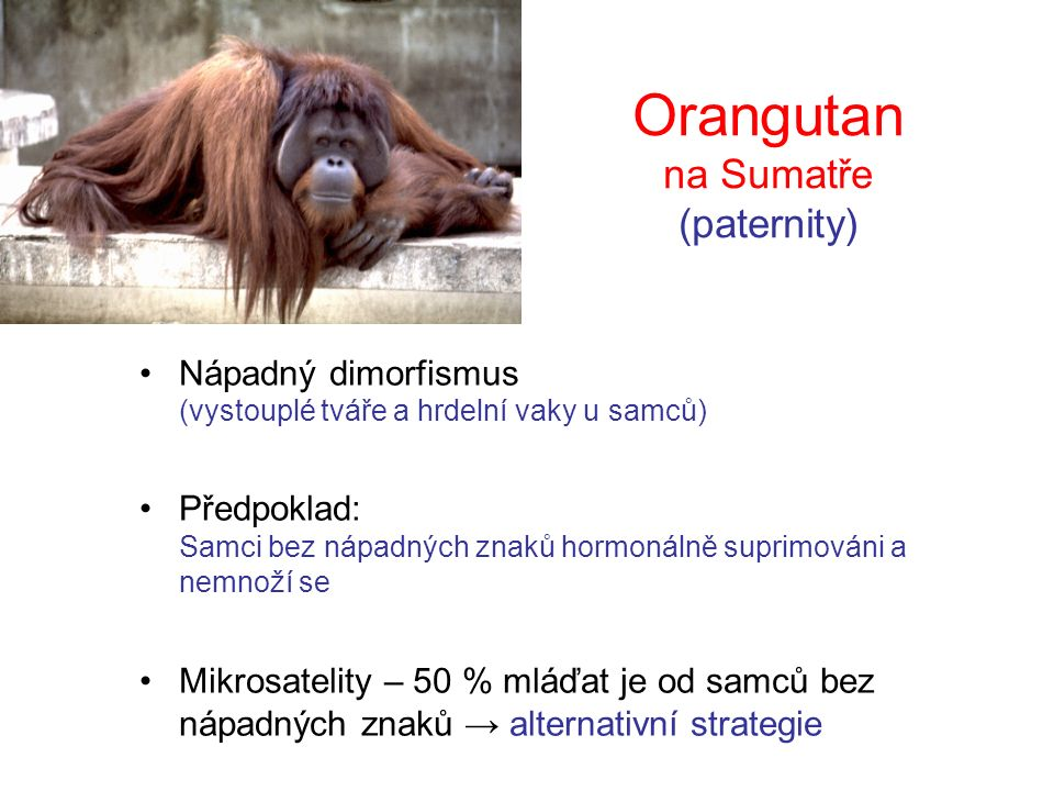 Orangutan na Sumatře (paternity)