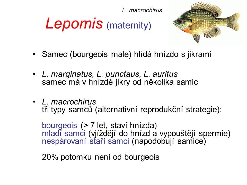 Lepomis (maternity) Samec (bourgeois male) hlídá hnízdo s jikrami