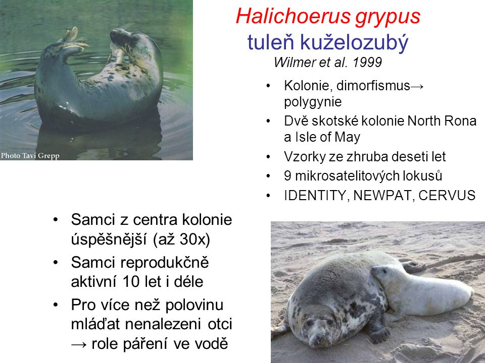 Halichoerus grypus tuleň kuželozubý Wilmer et al. 1999