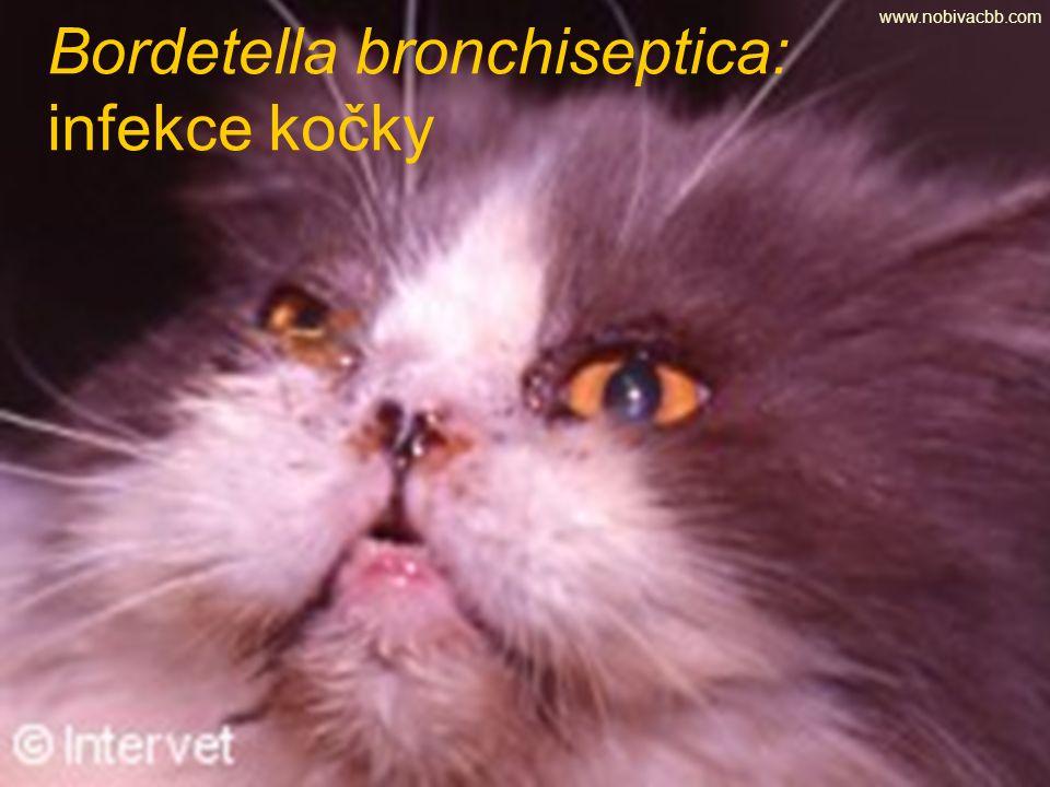 Bordetella bronchiseptica: infekce kočky