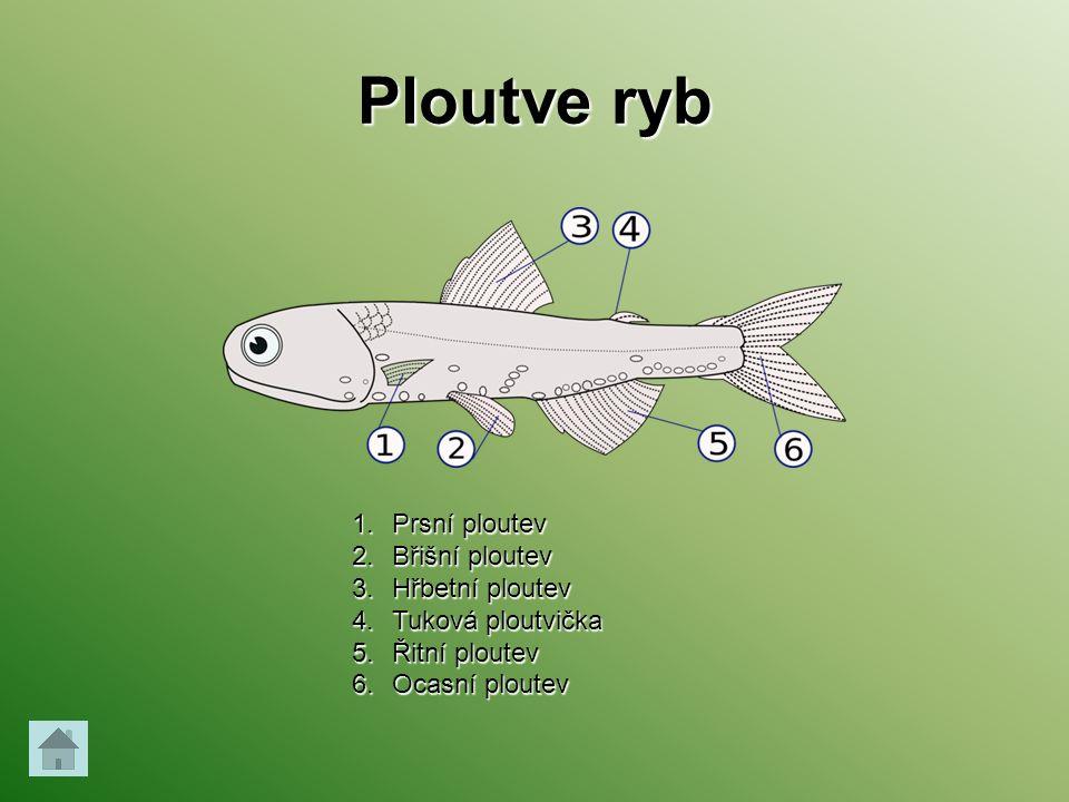 Ploutve ryb Prsní ploutev Břišní ploutev Hřbetní ploutev