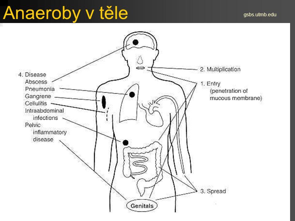 Anaeroby v těle gsbs.utmb.edu