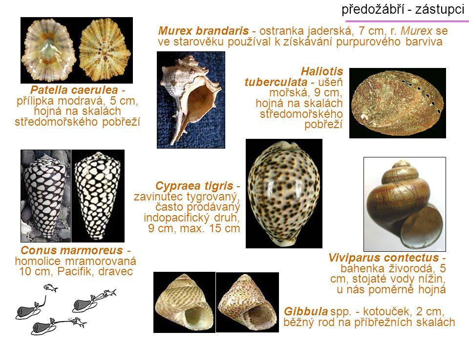 Conus marmoreus - homolice mramorovaná 10 cm, Pacifik, dravec