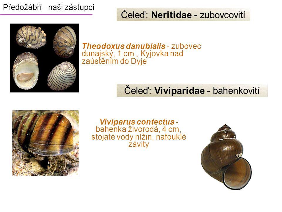 Čeleď: Neritidae - zubovcovití