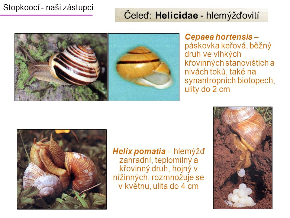 Čeleď: Helicidae - hlemýžďovití