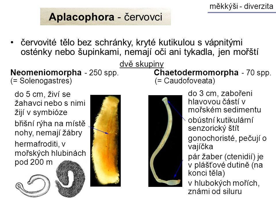 Aplacophora - červovci