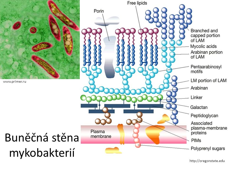 Buněčná stěna mykobakterií