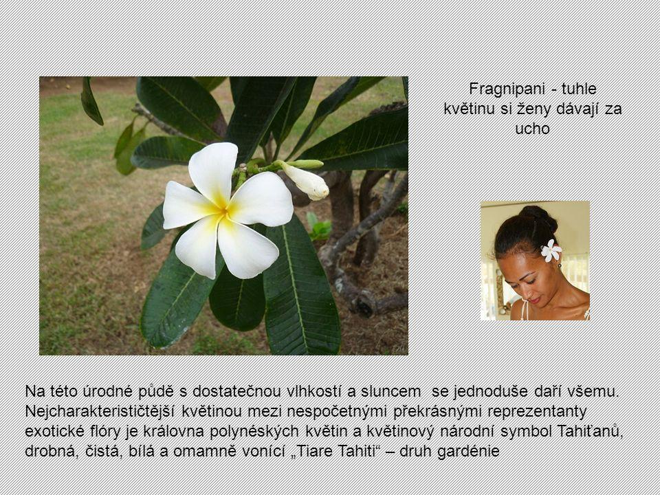 Fragnipani - tuhle květinu si ženy dávají za ucho