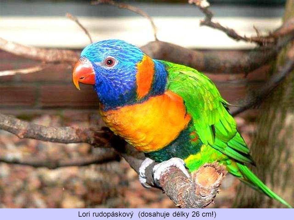 Lori rudopáskový (dosahuje délky 26 cm!)