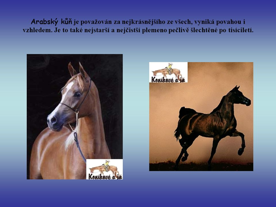 Arabský kůň je považován za nejkrásnějšího ze všech, vyniká povahou i vzhledem.