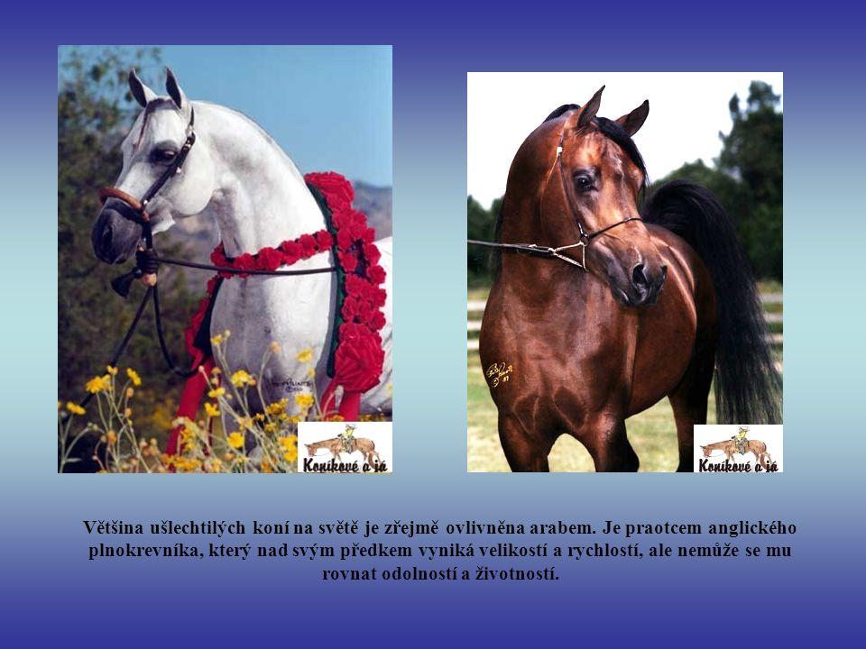 Většina ušlechtilých koní na světě je zřejmě ovlivněna arabem
