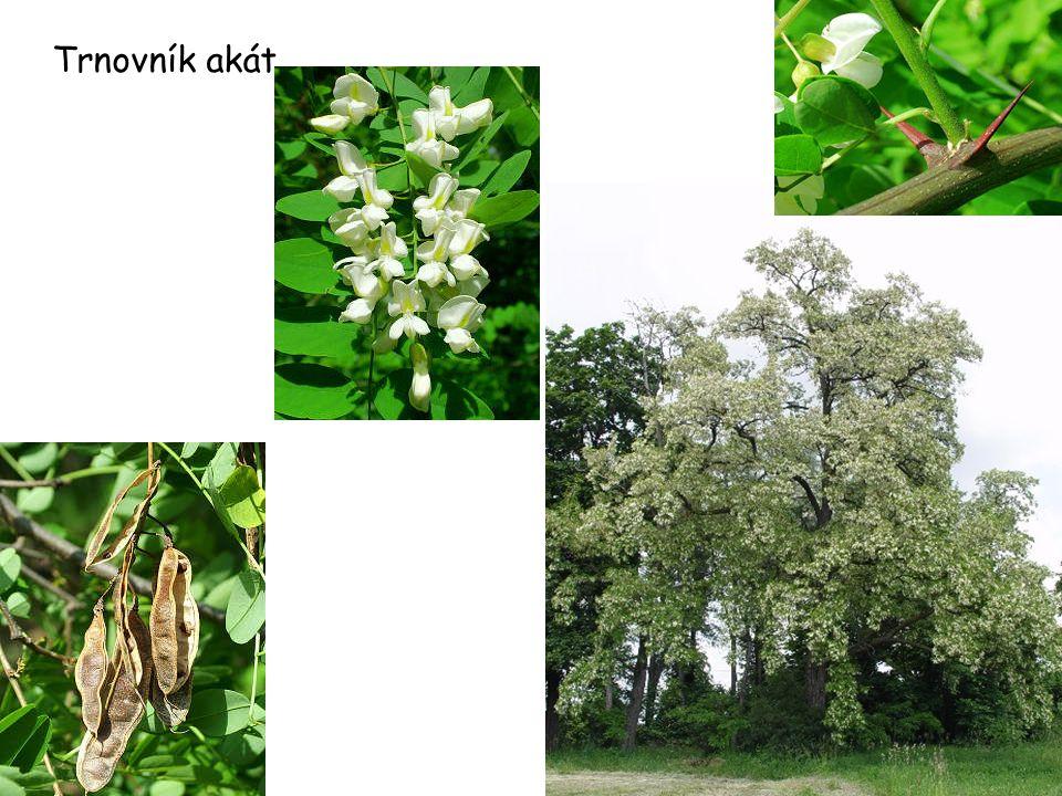 Trnovník akát 25 m, lichozpeřené listy, trny,