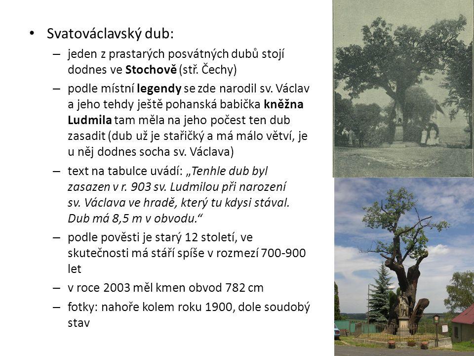 Svatováclavský dub: jeden z prastarých posvátných dubů stojí dodnes ve Stochově (stř. Čechy)