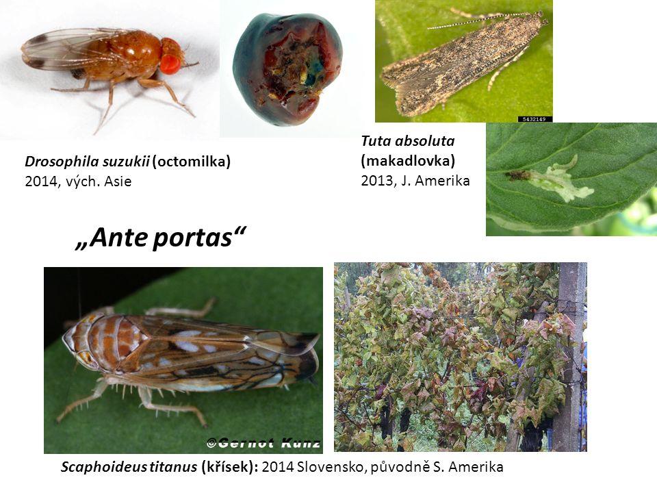 """Ante portas Tuta absoluta (makadlovka)"