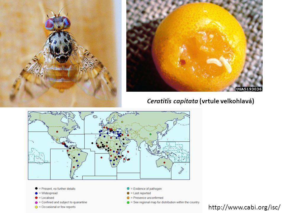 Ceratitïs capitata (vrtule velkohlavá)