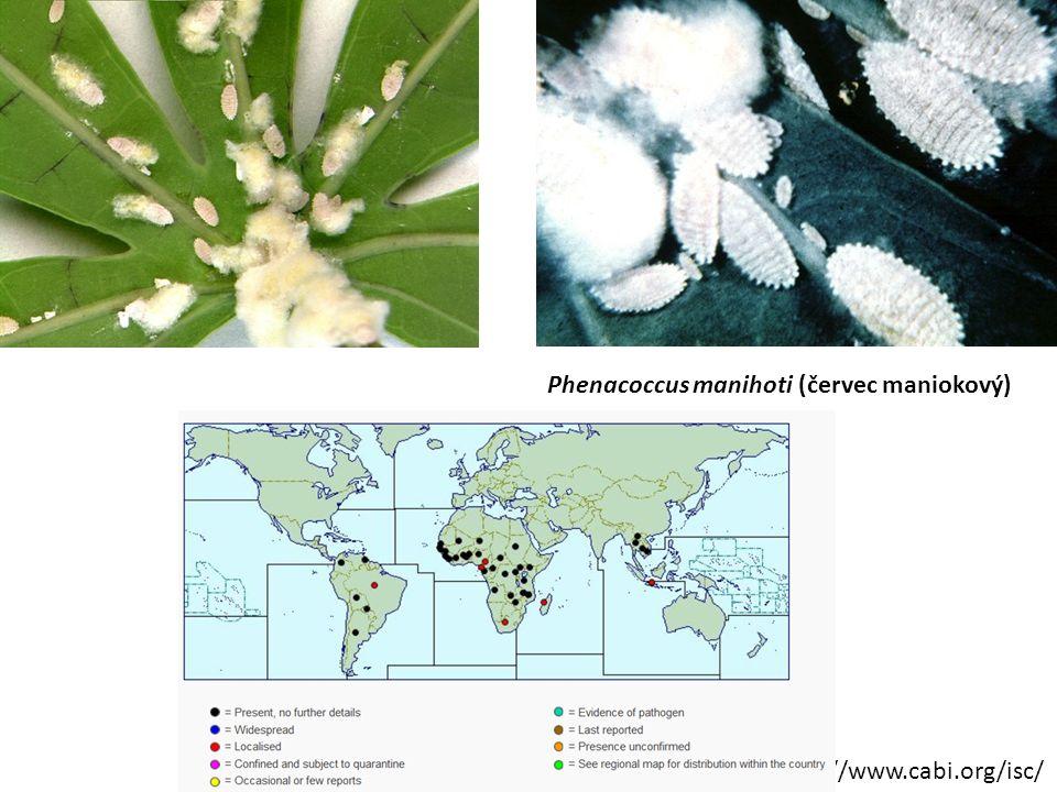 Phenacoccus manihoti (červec maniokový)