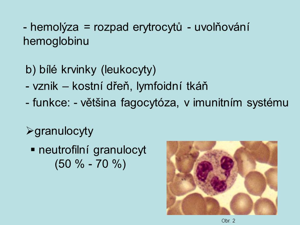 neutrofilní granulocyt