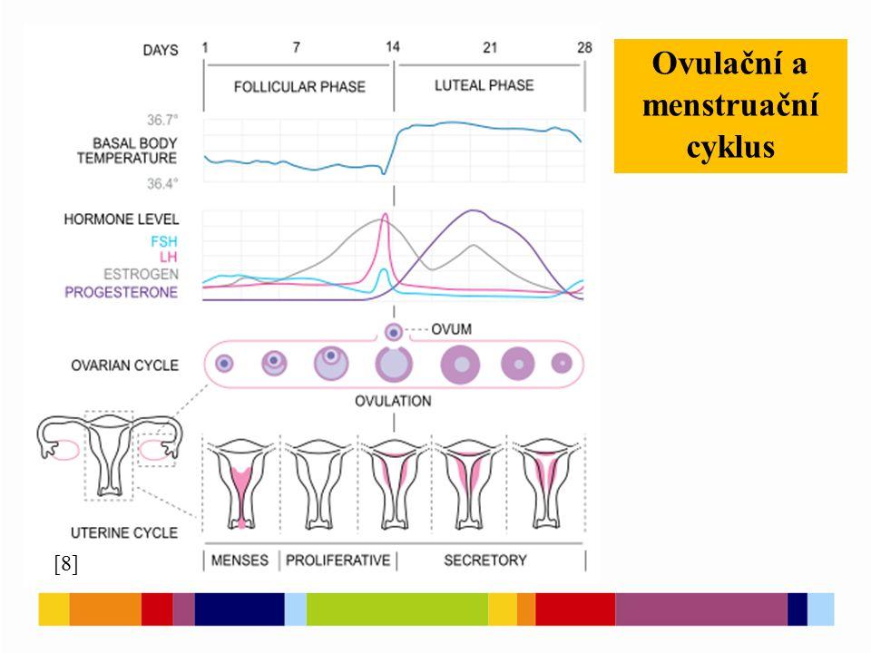 Ovulační a menstruační cyklus