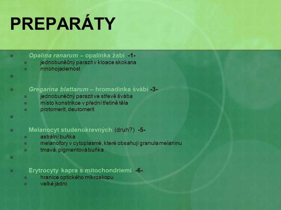 PREPARÁTY Opalina ranarum – opalinka žabí -1-