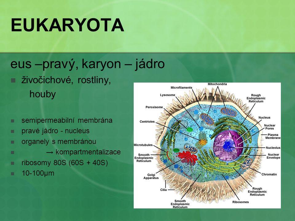 EUKARYOTA eus –pravý, karyon – jádro živočichové, rostliny, houby